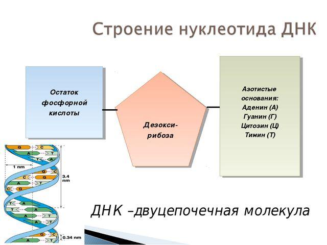 Азотистые основания: Аденин (А) Гуанин (Г) Цитозин (Ц) Тимин (Т) Дезокси- риб...