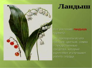Все растение ландыша ядовито, но препараты из его листьев, цветков, семян – л