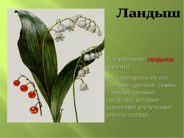 Все растение ландыша ядовито, но препараты из его листьев, цветков, семян – л...