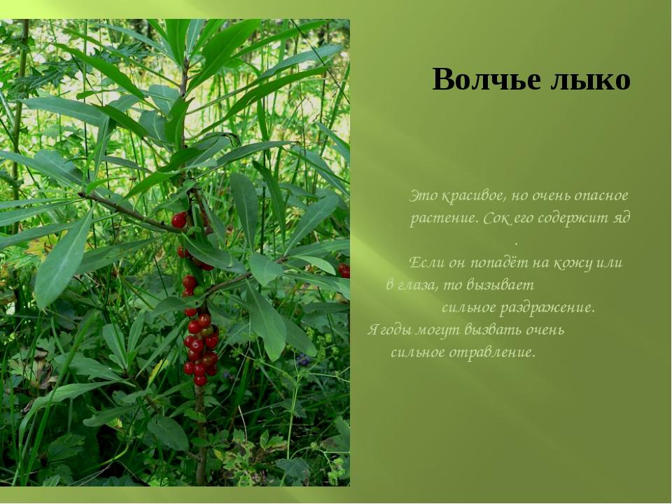 Волчье лыко Это красивое, но очень опасное растение. Сок его содержит яд . Ес...