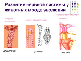 Развитие нервной системы у животных в ходе эволюции диффузная узловая Кишечно