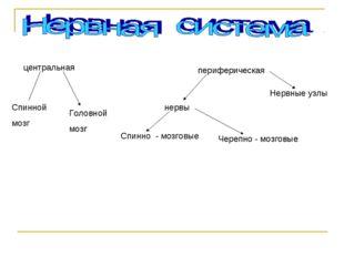 центральная периферическая Спинной мозг Головной мозг Нервные узлы нервы Чере