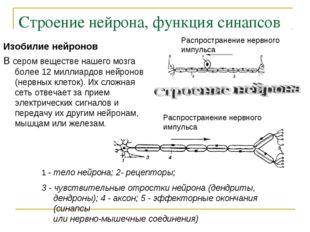 Строение нейрона, функция синапсов Изобилие нейронов В сером веществе нашего