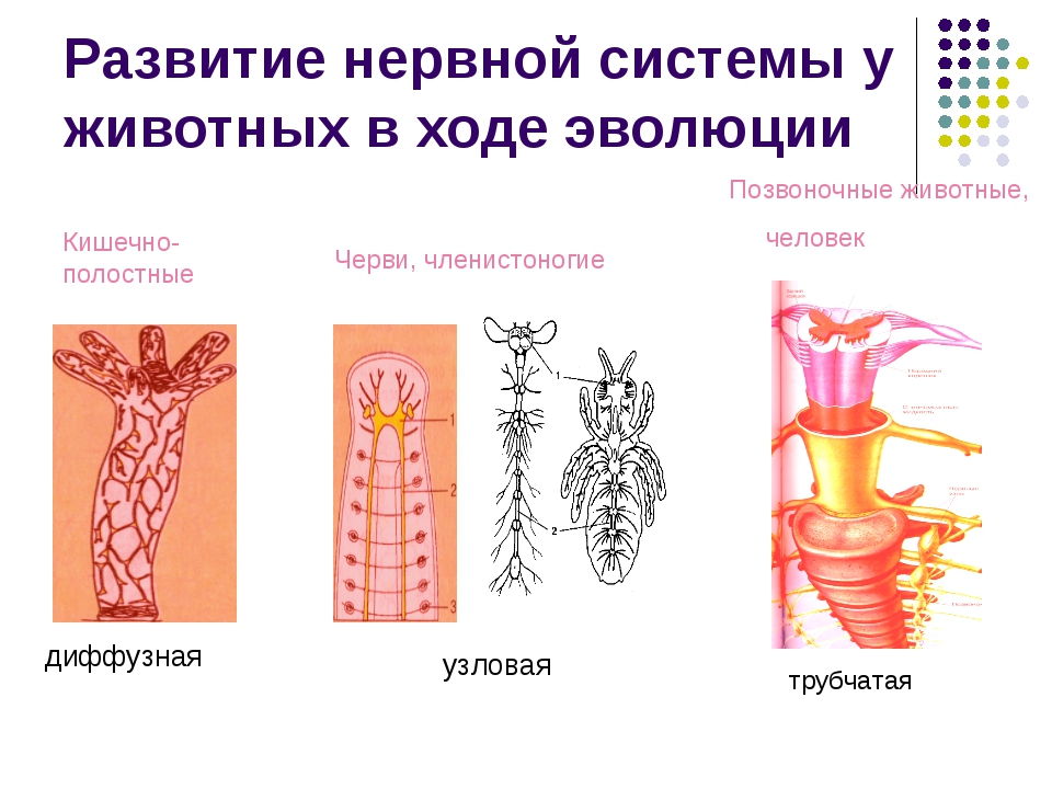 Развитие нервной системы у животных в ходе эволюции диффузная узловая Кишечно...