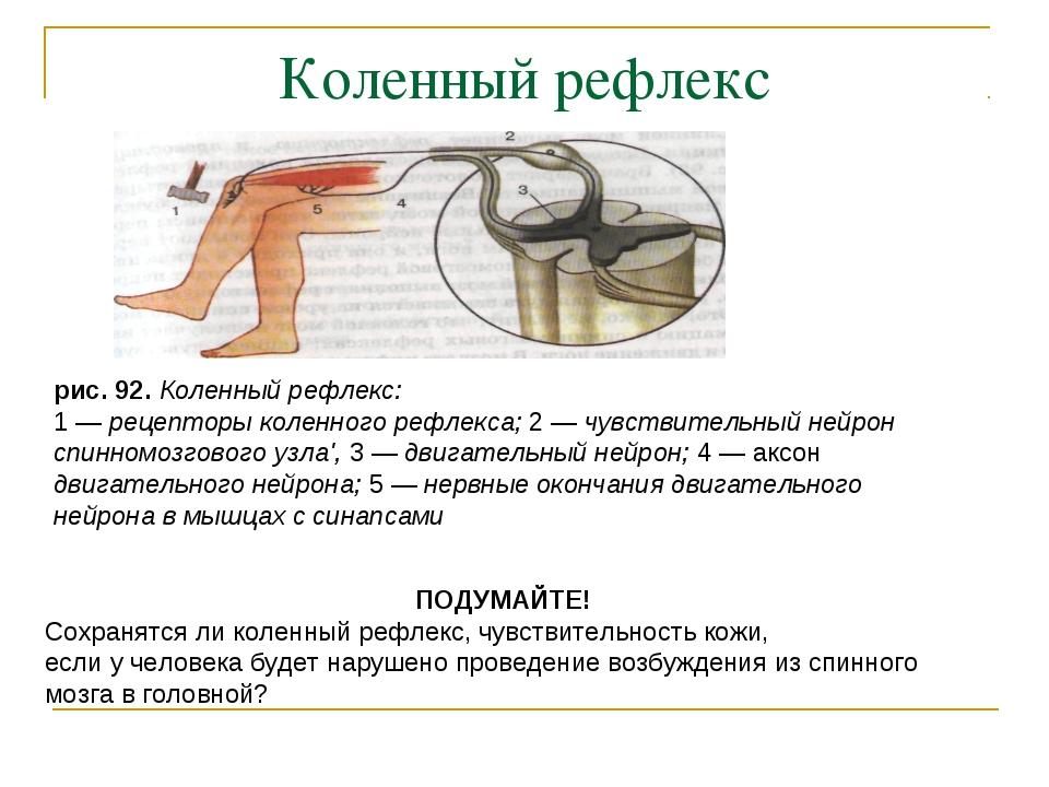 Коленный рефлекс рис. 92. Коленный рефлекс: 1 — рецепторы коленного рефлекса;...