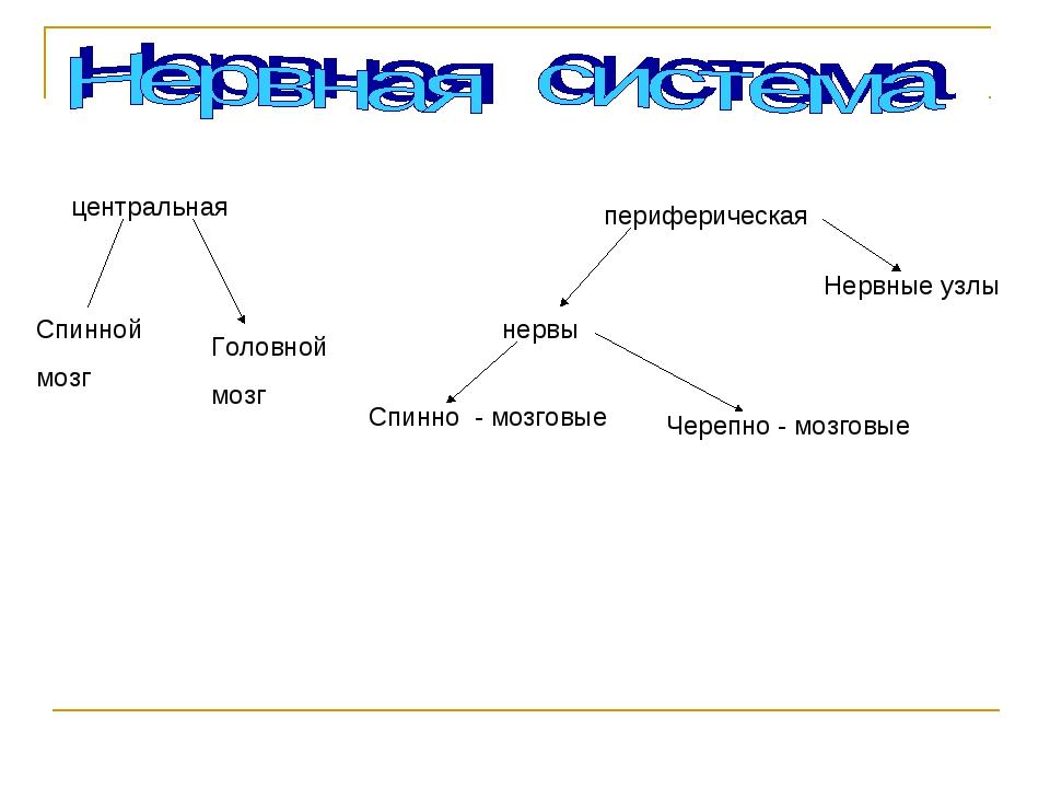 центральная периферическая Спинной мозг Головной мозг Нервные узлы нервы Чере...