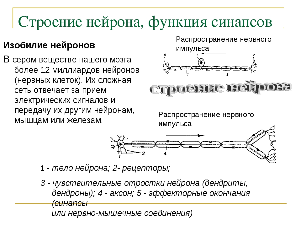 Строение нейрона, функция синапсов Изобилие нейронов В сером веществе нашего...