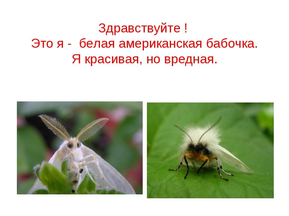 Здравствуйте ! Это я - белая американская бабочка. Я красивая, но вредная.