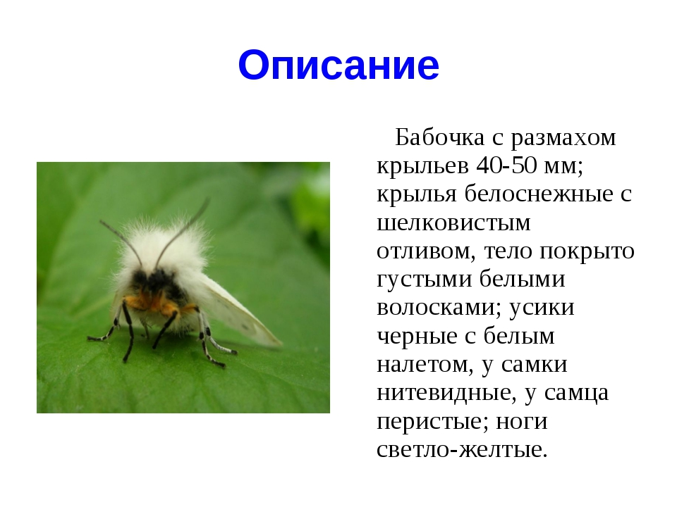 Описание Бабочка с размахом крыльев 40-50 мм; крылья белоснежные с шелковисты...