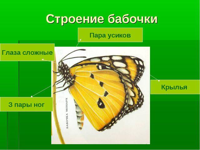 Строение бабочки Крылья Пара усиков Глаза сложные З пары ног