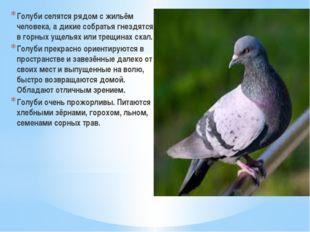 Голуби селятся рядом с жильём человека, а дикие собратья гнездятся в горных у