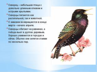 Скворец – небольшая птица с довольно длинным клювом и острыми крыльями. Сквор