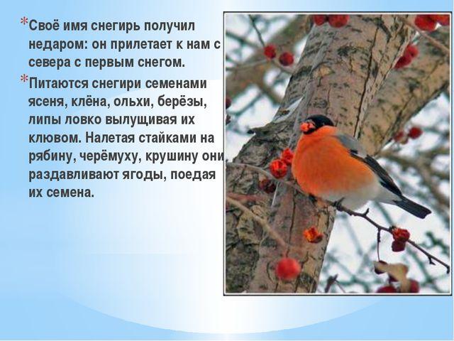 Своё имя снегирь получил недаром: он прилетает к нам с севера с первым снегом...
