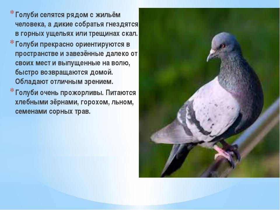 Голуби селятся рядом с жильём человека, а дикие собратья гнездятся в горных у...