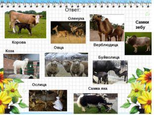 Корова Коза Верблюдица Овца Буйволица Самка яка Оленуха Ослица Самки зебу Отв