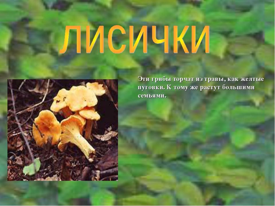Эти грибы торчат из травы, как желтые пуговки. К тому же растут большими семь...