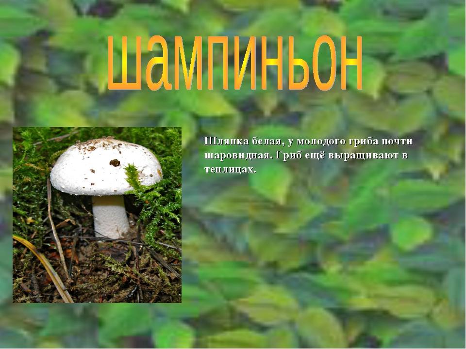 Шляпка белая, у молодого гриба почти шаровидная. Гриб ещё выращивают в теплиц...