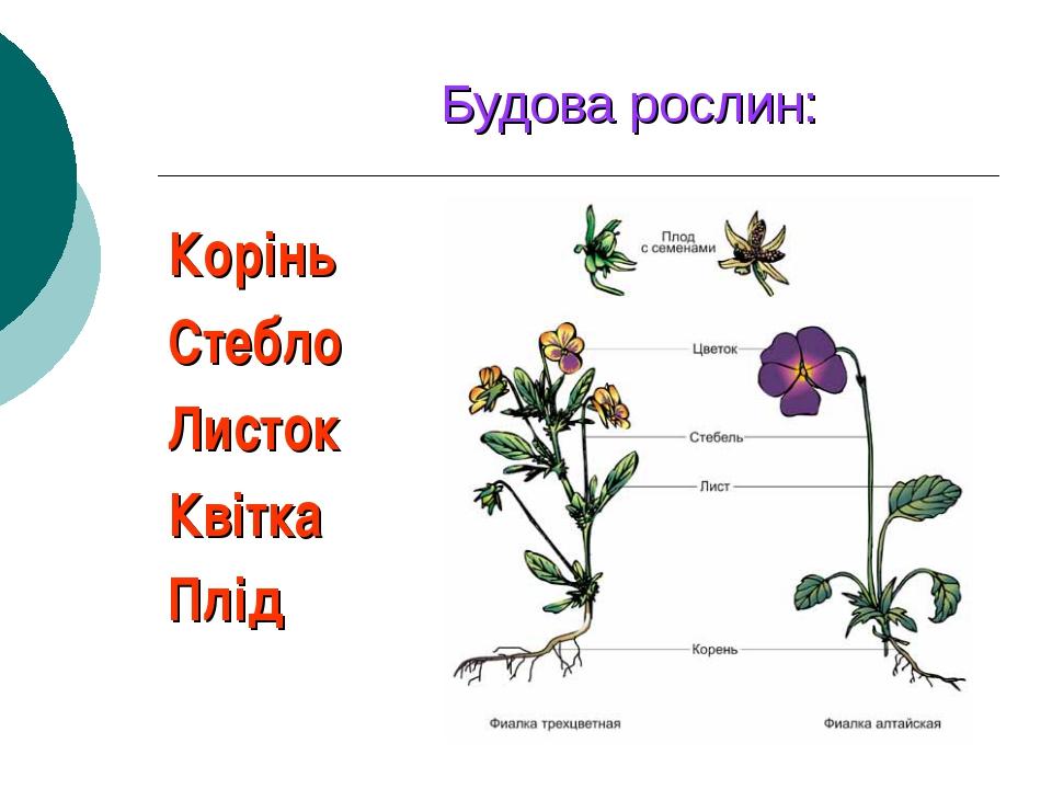 Будова рослин: Корінь Стебло Листок Квітка Плід