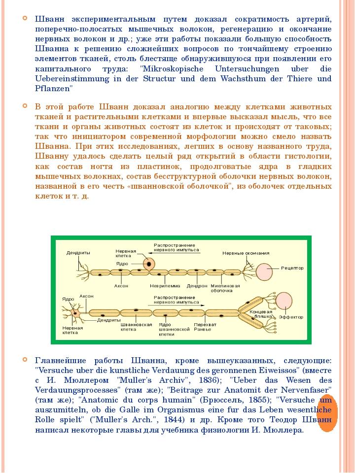 Шванн экспериментальным путем доказал сократимость артерий, поперечно-полосат...