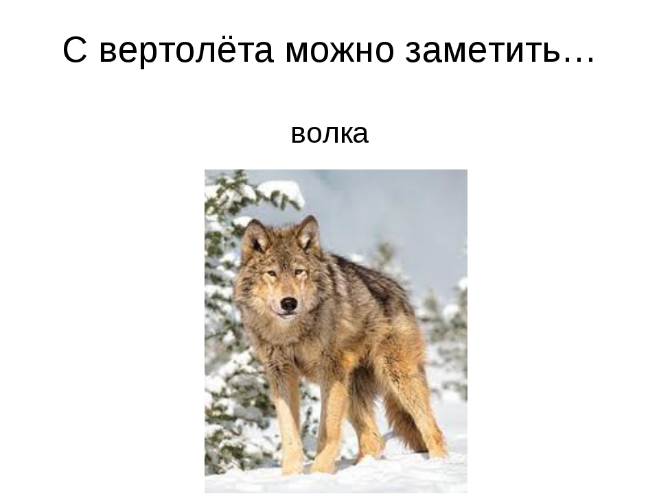 С вертолёта можно заметить… волка