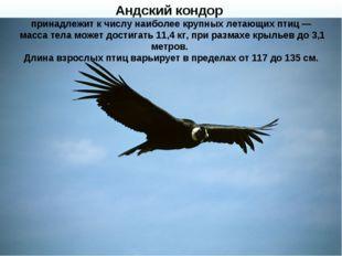 Андский кондор принадлежит к числу наиболее крупных летающих птиц— масса те