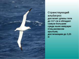 Странствующий альбатрос достигает длины тела до 117см и обладает самым боль