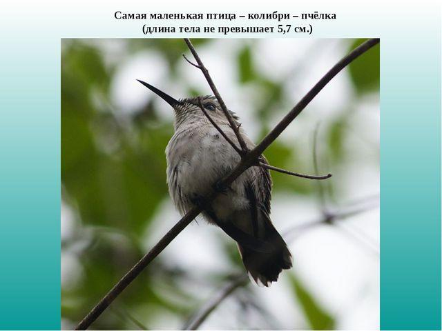 Самая маленькая птица – колибри – пчёлка (длина тела не превышает 5,7 см.)