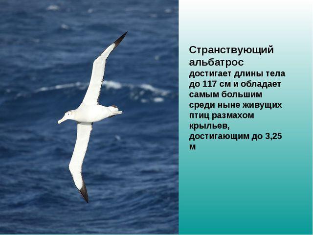 Странствующий альбатрос достигает длины тела до 117см и обладает самым боль...