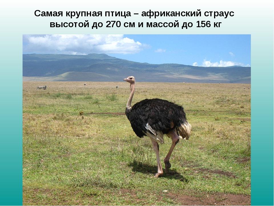 Самая крупная птица – африканский страус высотой до 270см и массой до 156 кг