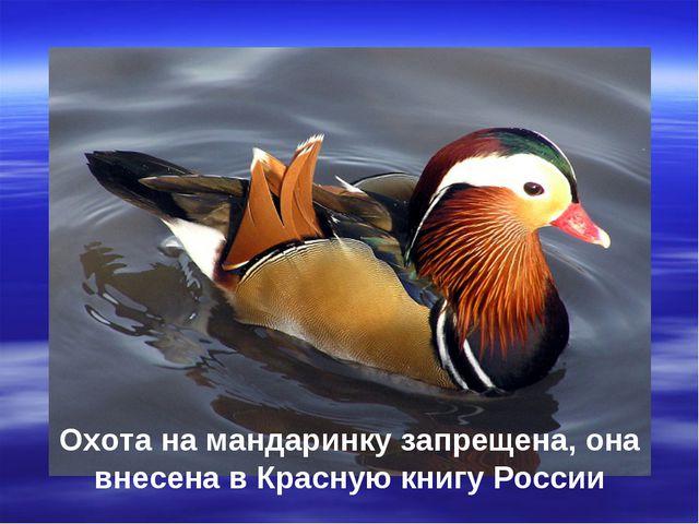 Охота на мандаринку запрещена, она внесена в Красную книгу России