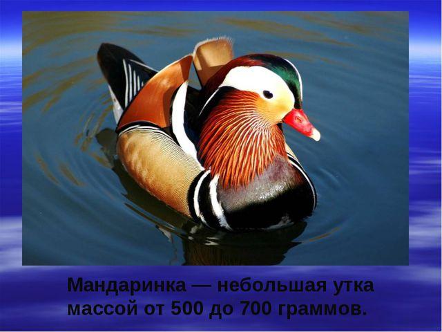 Мандаринка — небольшая утка массой от 500 до 700 граммов.