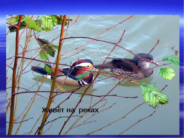 Живёт на реках