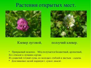 Растения открытых мест. Клевер луговой, ползучий клевер. Прекрасный медонос.