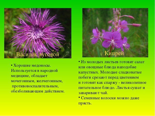 Кипрей Василёк луговой Из молодых листьев готовят салат или овощные блюда нап...