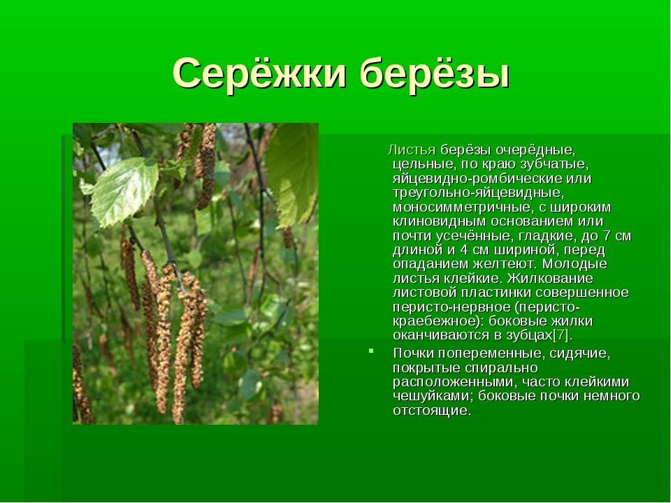 Серёжки берёзы Листья берёзы очерёдные, цельные, по краю зубчатые, яйцевидно-...