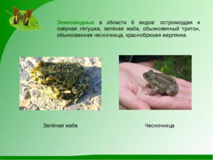 Чесночница Зелёная жаба Земноводных в области 6 видов: остромордая и озёрная