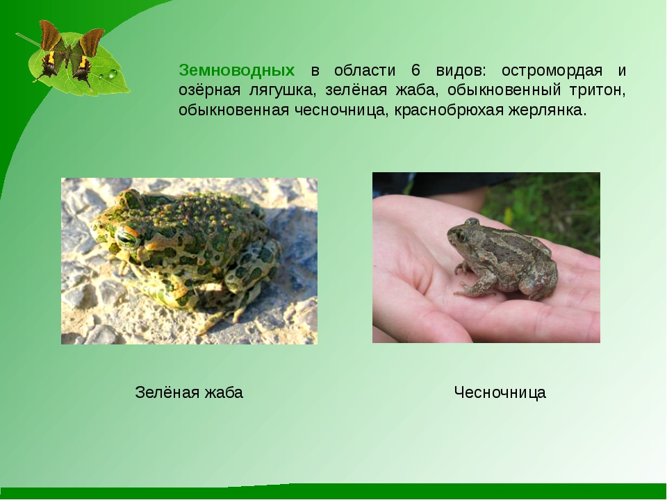 Чесночница Зелёная жаба Земноводных в области 6 видов: остромордая и озёрная...