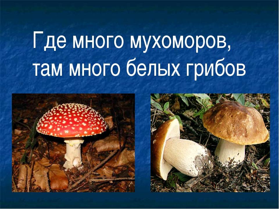 Где много мухоморов, там много белых грибов