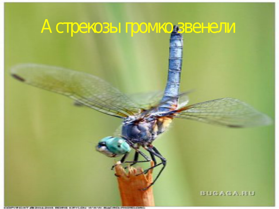 А стрекозы громко звенели