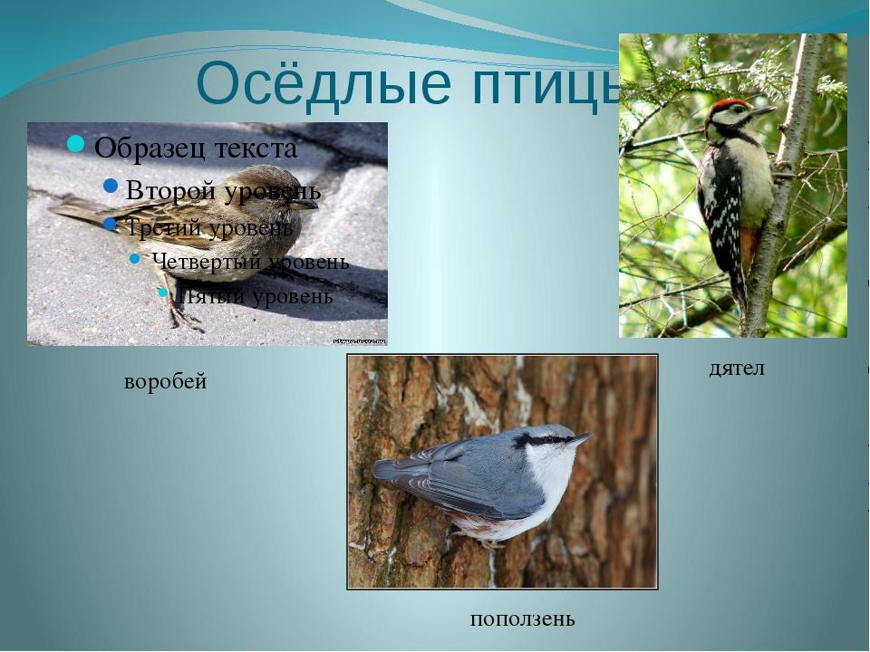 Осёдлые птицы воробей дятел поползень