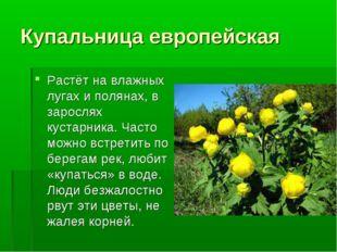 Купальница европейская Растёт на влажных лугах и полянах, в зарослях кустарни