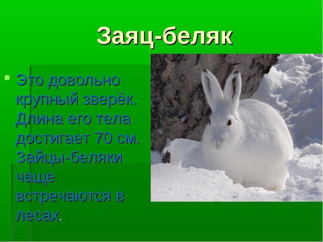 Заяц-беляк Это довольно крупный зверёк. Длина его тела достигает 70 см. Зайцы...