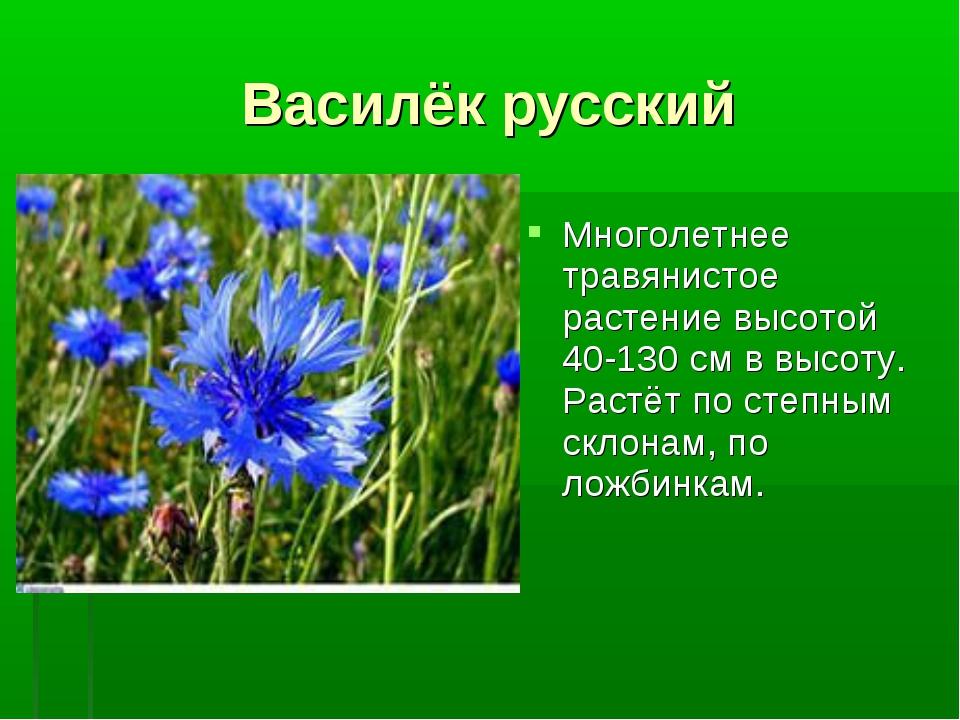 Василёк русский Многолетнее травянистое растение высотой 40-130 см в высоту....