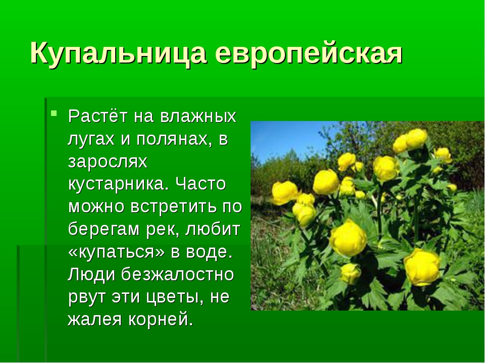 Купальница европейская Растёт на влажных лугах и полянах, в зарослях кустарни...