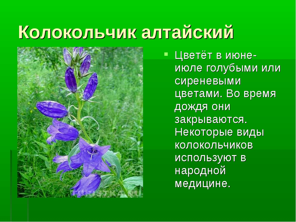 Колокольчик алтайский Цветёт в июне-июле голубыми или сиреневыми цветами. Во...