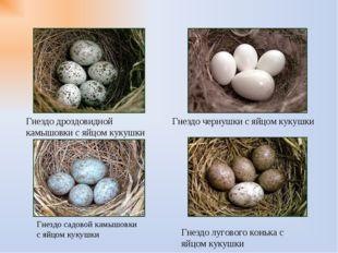 Гнездо чернушки с яйцом кукушки Гнездо дроздовидной камышовки с яйцом кукушки