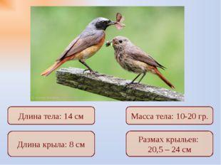 Длина крыла: 8 см Размах крыльев: 20,5 – 24 см Длина тела: 14 см Масса тела:
