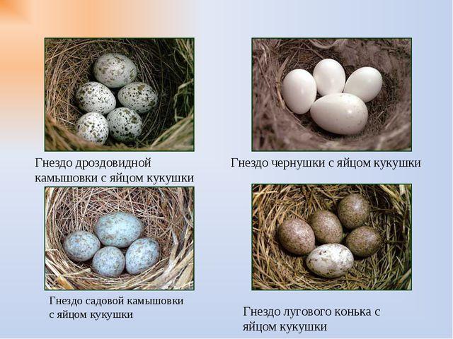 Гнездо чернушки с яйцом кукушки Гнездо дроздовидной камышовки с яйцом кукушки...