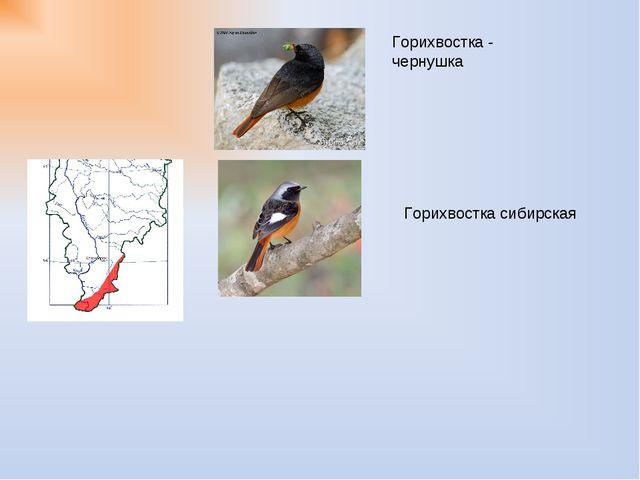Горихвостка - чернушка Горихвостка сибирская