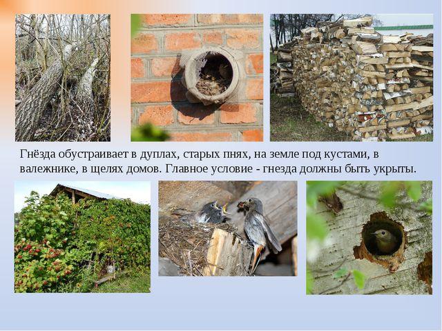 Гнёзда обустраивает в дуплах, старых пнях, на земле под кустами, в валежнике,...